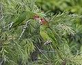 Mitred Parakeet (Psittacara mitrata) (9735964649).jpg