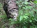 Mizzy Lake Ontario beaver traces.JPG