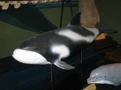 Lagenorhynchus albirostris