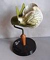 Modell einer Blüte von Fabaceae (Hülsenfrüchtler).jpg