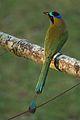Momotus subrufescens, Gamboa, Panama.jpg