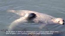 File: Monitoraggio delle foche grigie nel Pembrokeshire, Wales.webm
