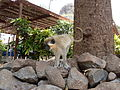 Monkey, Cidade Velha, Cape Verde.jpg