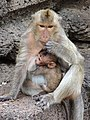Monkeys at Prang Sam Yot (Monkey Temple) - Lop Buri - Thailand - 01 (34896525841).jpg