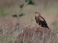Montagu's Harrier, juvenile, Bangalore, India (edit).jpg