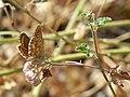 Morena (Aricia cramera).jpg
