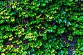 Morgan House Kalimpong ivy creepers on the wall.jpg
