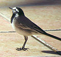 Moroccan Wagtail.jpg