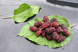 Morus alba fruits and leaves.jpg