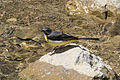 Motacilla cinerea - Dağ kuyruksallayanı 02.jpg