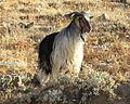 Mountain Goat on Nemrut Dagi (3824676430).jpg