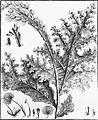 Mourera fluviatilis-2.jpg
