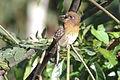 Moustached Puffbird (Malacoptila mystacalis) (8079779491).jpg