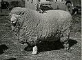 Mouton primé.jpg