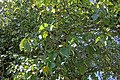 Mulberries on tree 2.jpg