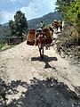 Mule Carrying packed fruit cases, Uttarakhand India .jpg