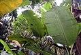 Musa paradisiaca var. sapientum Cuadrado 3zz.jpg