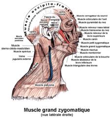 musculus zygomaticus major