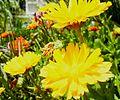 My Garden Flower 12.JPG