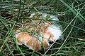 Mycel auf einem Pilzfruchtkörper im Wald südwestlich des Parkplatzes Irenkreuz, Landkreis Rhön-Grabfeld.jpg