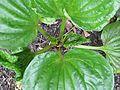 Myosotidium hortensia - Flickr - peganum.jpg