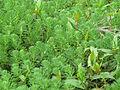Myriophyllum aquaticum habit7 (15105975560).jpg