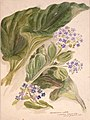 Mysosotidium nobile (Chatham Island lily - giant forget-me-not (myosotidium hortensia. 1890s?) by Emily Cumming Harris.jpg