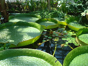 http://upload.wikimedia.org/wikipedia/commons/thumb/b/bf/N%C3%A9nuphar_G%C3%A9ant_d%27Amazonie_(Victoria_Cruziana).jpg/290px-N%C3%A9nuphar_G%C3%A9ant_d%27Amazonie_(Victoria_Cruziana).jpg