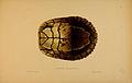 N198 Sowerby & Lear 1872 (trachemys decussata).jpg