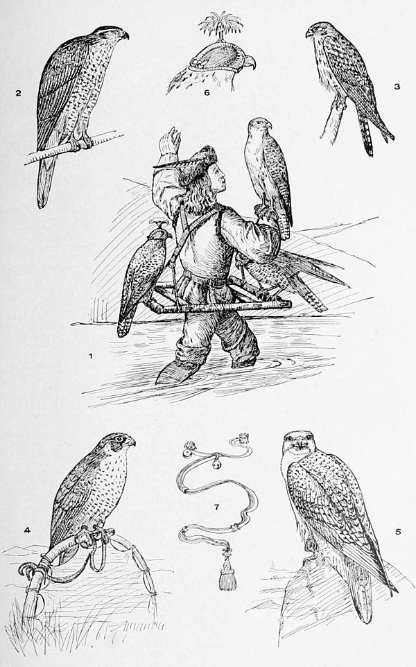 NIE 1905 Falcons and Falconry.jpg