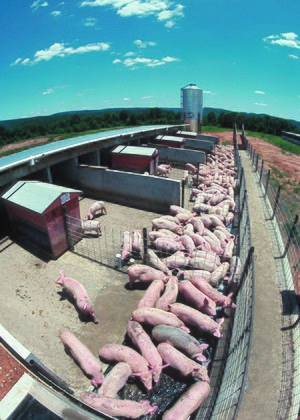 Pig farming - Finishing pigs on a farm.