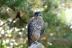 NZ Falcon 2007 03 04.jpg