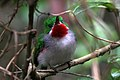 Narrow billed tody 1.jpg