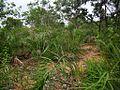 Natural population of Attalea eichleri.jpg