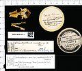 Naturalis Biodiversity Center - RMNH.MAM.5001.a pal - Chrotopterus auritus - skull.jpeg