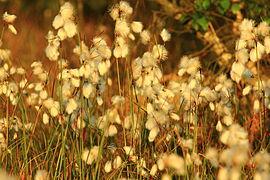 Naturschutzgebiet Teufelsmoor bei Horst - typisches Moosgewächs Wollgras.jpg