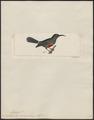 Nectarinia canora - 1820-1860 - Print - Iconographia Zoologica - Special Collections University of Amsterdam - UBA01 IZ19000027.tif