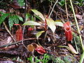 Nepenthes gymnamphora .jpg