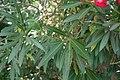 Nerium oleander 2 2018-06-17.JPG