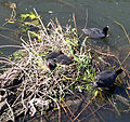 Nesting coots.jpg