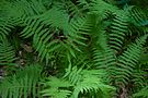New york fern 02.jpg