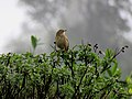 Nilgiri pipit IMG 6287.jpg