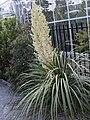 Nolina longifolia Toulouse 01.jpg