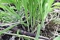 Noordwijk - Gestreepte witbol (Holcus lanatus) v4.jpg