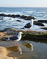 NorCal2018 Western gull at Point Lobos Monterey County S0370078.jpg