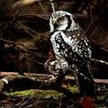 Northern hawk-owl, Surnia ulula, Hökuggla (49073423328).jpg