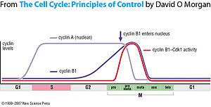 Cyclin B1 - Cyclin B1 accumulates throughout the cell cycle but must be activated. It is degraded at the end of mitosis and accumulates again during the next cell cycle.
