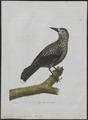 Nucifraga caryocatactes - 1790-1796 - Print - Iconographia Zoologica - Special Collections University of Amsterdam - UBA01 IZ15700169.tif