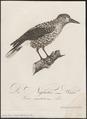 Nucifraga caryocatactes - 1800-1812 - Print - Iconographia Zoologica - Special Collections University of Amsterdam - UBA01 IZ15700175.tif