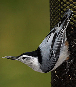 Nuthatch (5032775811) (cropped).jpg